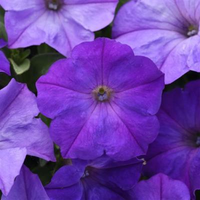 Lavender Sky BlueWave  Petunia Jumbo 6 Pack 19.99
